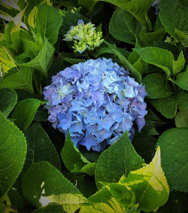 Let's Dance Rhythmic Blue Hydrangea Shrubs