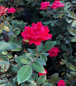 Red Double Knock Out Rose Bushes