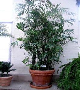 Bamboo Palm Plants