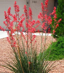 Texas Red Yucca Shrubs