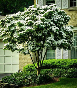 Milky Way Kousa Dogwood Trees