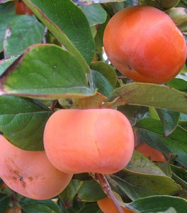 Fuyu Persimmon Trees