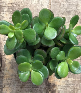 Mini Leaf Jade Plants