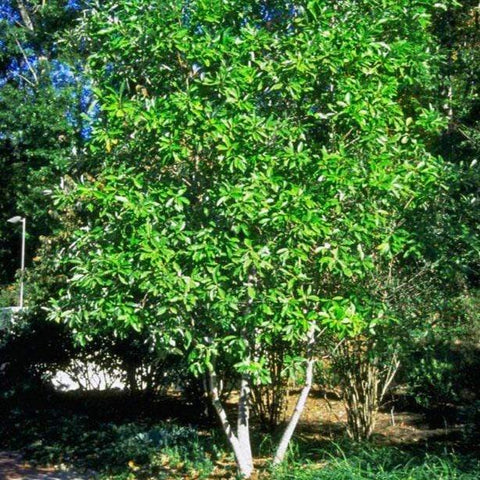 Buy Virginiana Sweetbay Magnolia Online Free Shipping Over 99