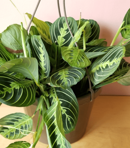 Lemon Maranta Plants