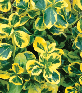 Golden Euonymus Shrubs