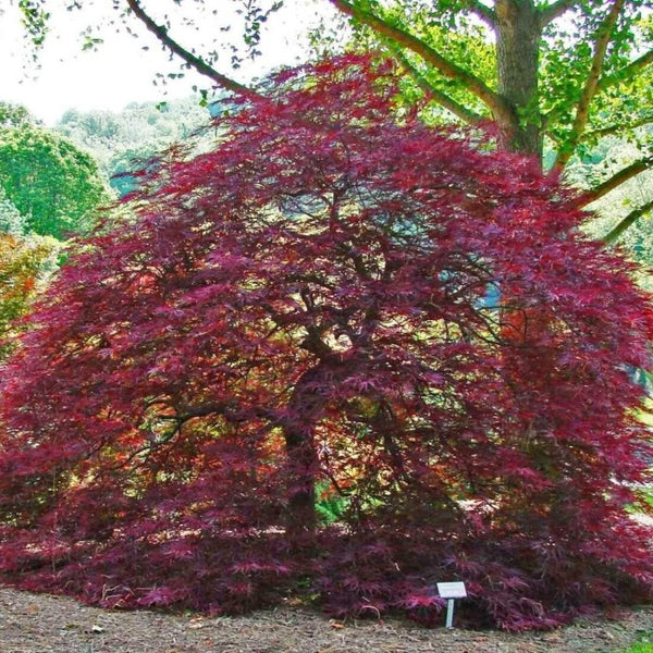 Buy Red Dragon Japanese Maple Trees Online Free Shipping Over 99