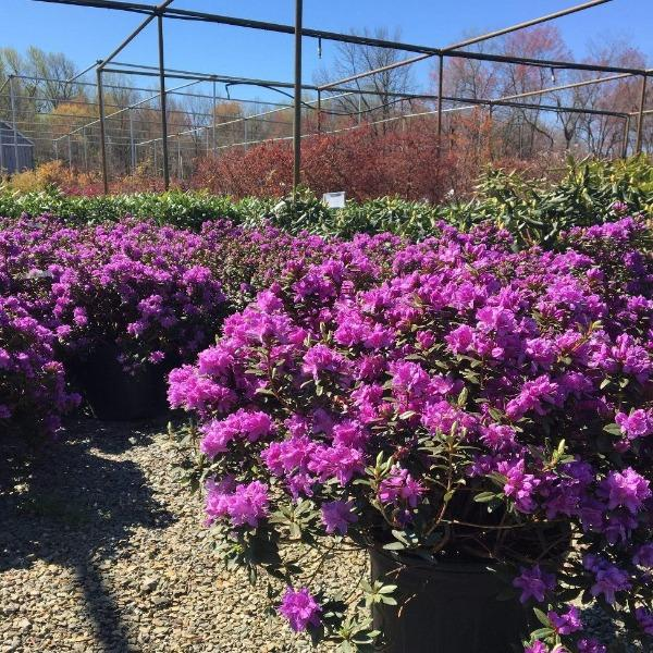 Purple Gem Rhododendron Shrubs For Sale Garden Goods