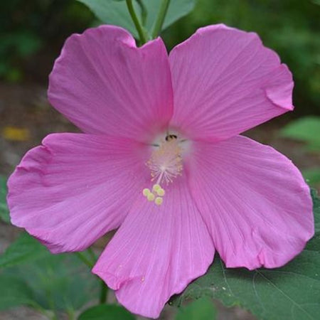Buy Swamp Hibiscus Moscheutos Online Free Shipping Over 99