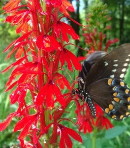 Red Cardinal Flower Plants