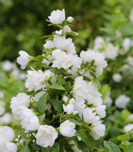 Mock Orange Snowbelle Shrubs