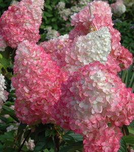 Vanilla Strawberry Hydrangea Shrubs