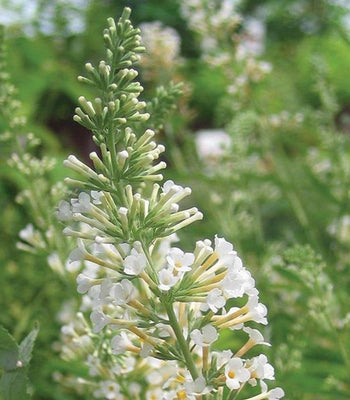 Vanilla Treat Butterfly Bush For Sale Garden Goods Direct