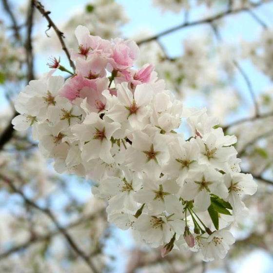 Weeping Yoshino Cherry Trees For Sale Online Garden Goods Direct