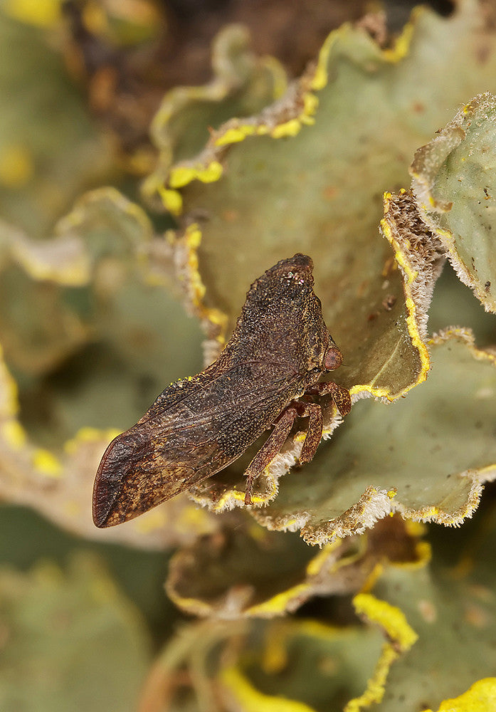 Lycoderes sp