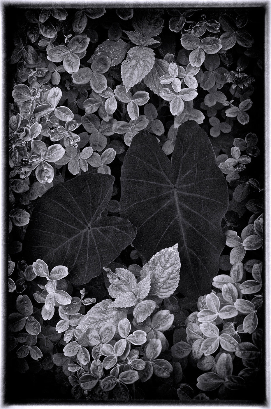 Contrasting Leaves in B&W