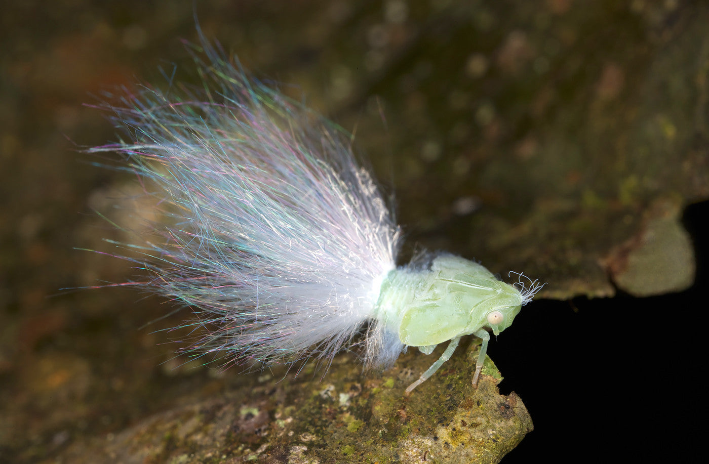 Wax-Tailed Planthopper nymph