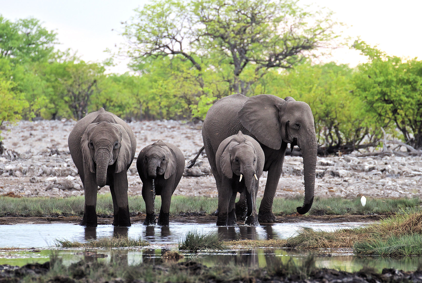 African Savannah Elephants I