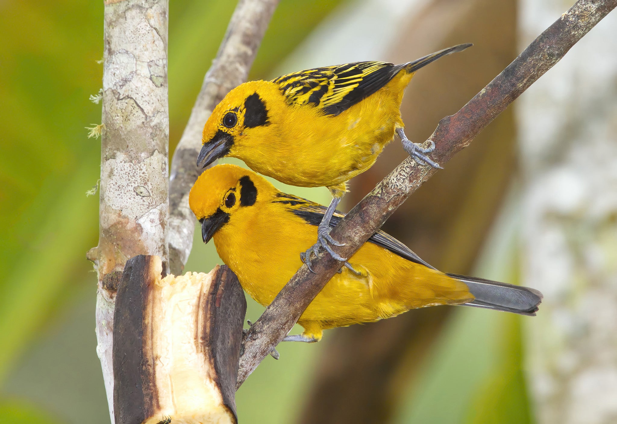 Pair of Golden Tanagers