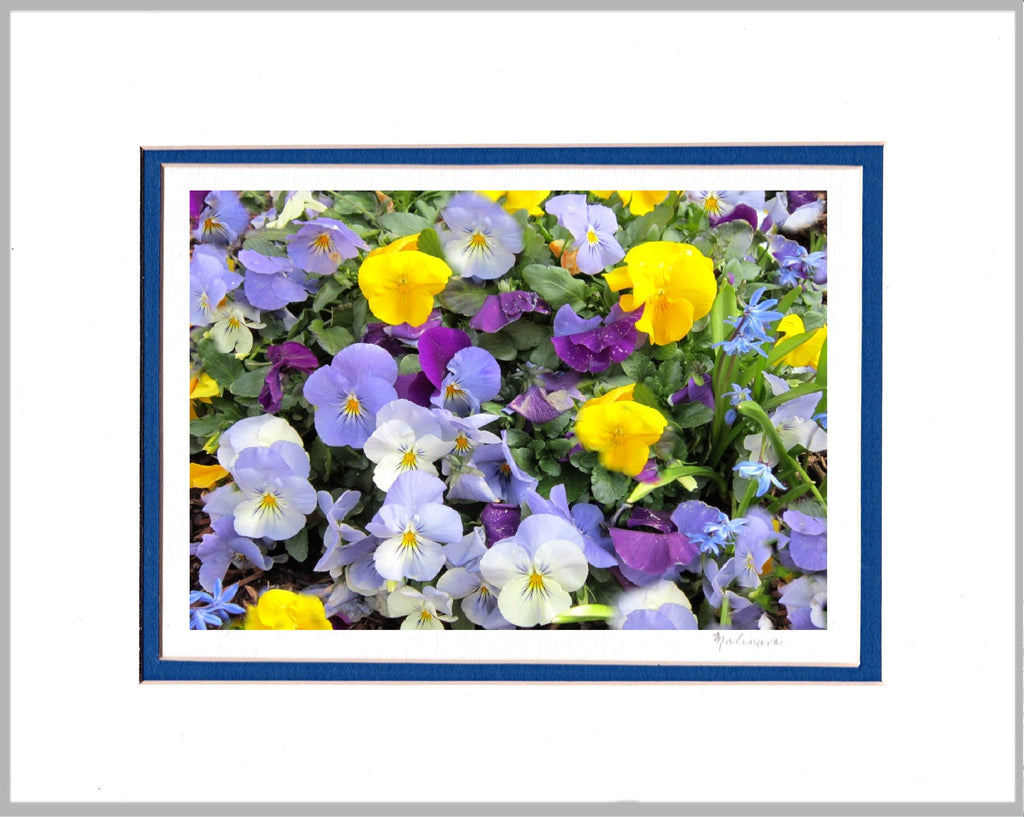 Colorful Pansies Matted Print