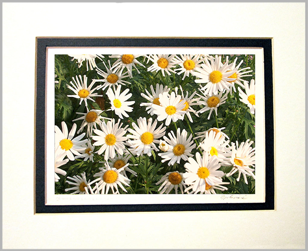 Daisies Matted Print