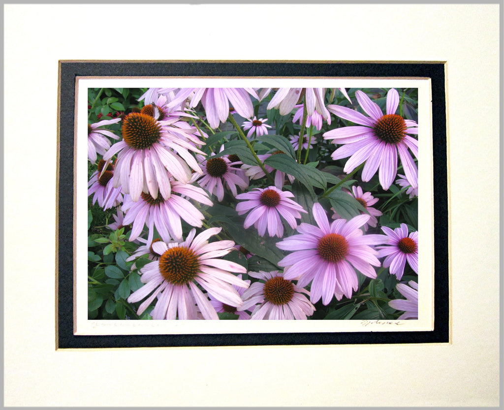 Echinacea Matted Print