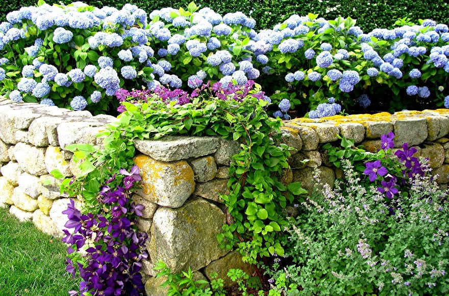 Hydrangeas on Stonewall