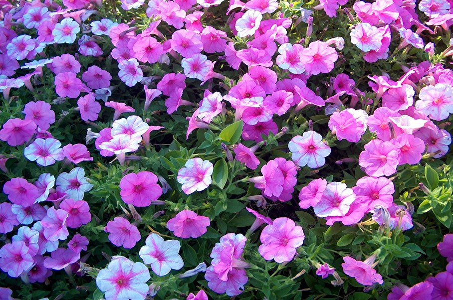 Pink and Purple Petunias