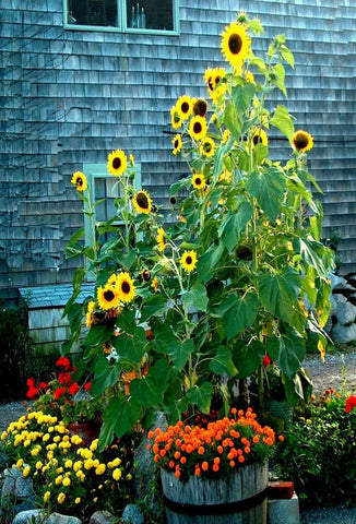 Sunflowers and Mums