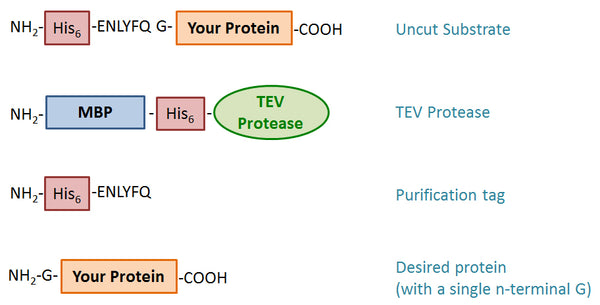 TEV protease protocol reaction scheme mechanism