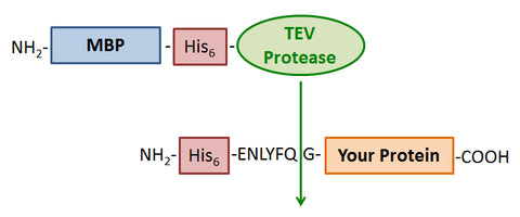 TEV protease purification tag removal schematic