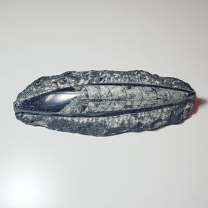 Orthoceras Fossil - Morocco