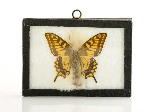 Brown Yellow Butterfly Specimen