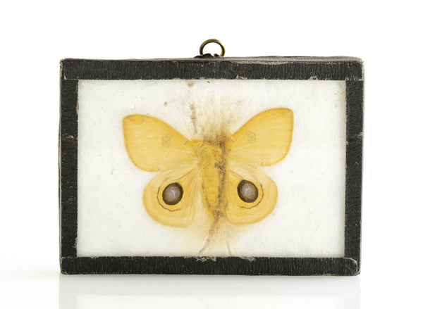 Yellow Butterfly Specimen