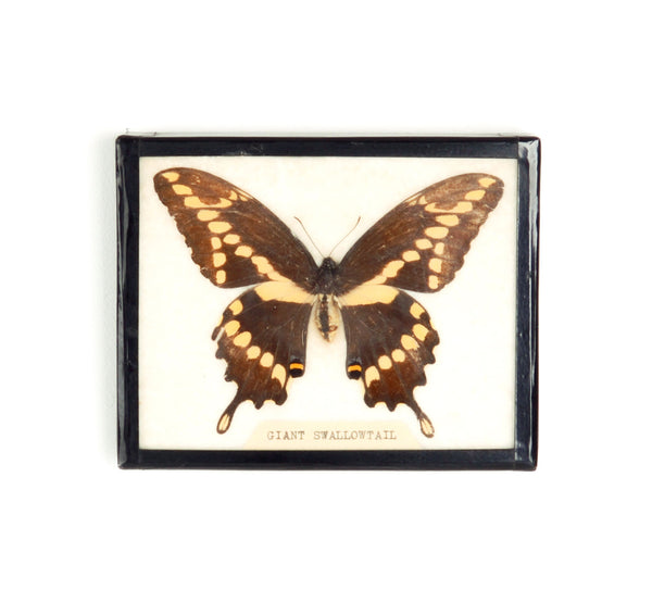 Giant Swallowtail Preserved Butterfly Specimen