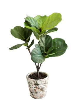 Fiddle Leaf Plant in Pot