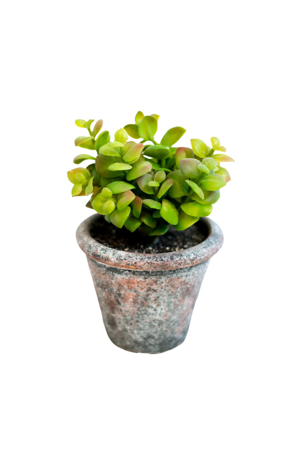 "7.5"" Jade Plant in Clay Pot"