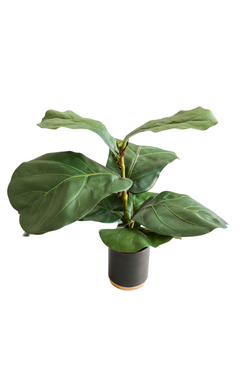 Fiddle Leaf Plant in Black Pot 20""