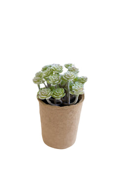 Claire Succulent in Paper Pot