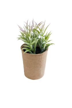 Oliva Succulent in Paper Pot