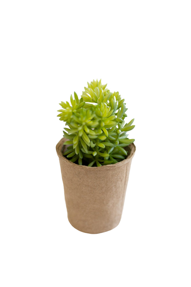 Jordyn Succulent in Paper Pot