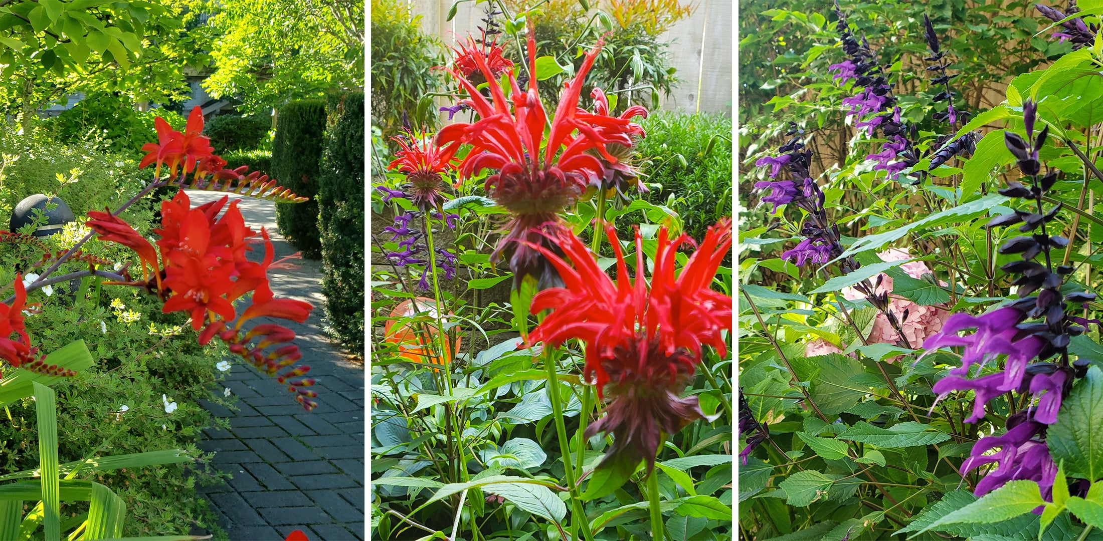 Monarda, Crocosmia, and Salvia Guaranitica
