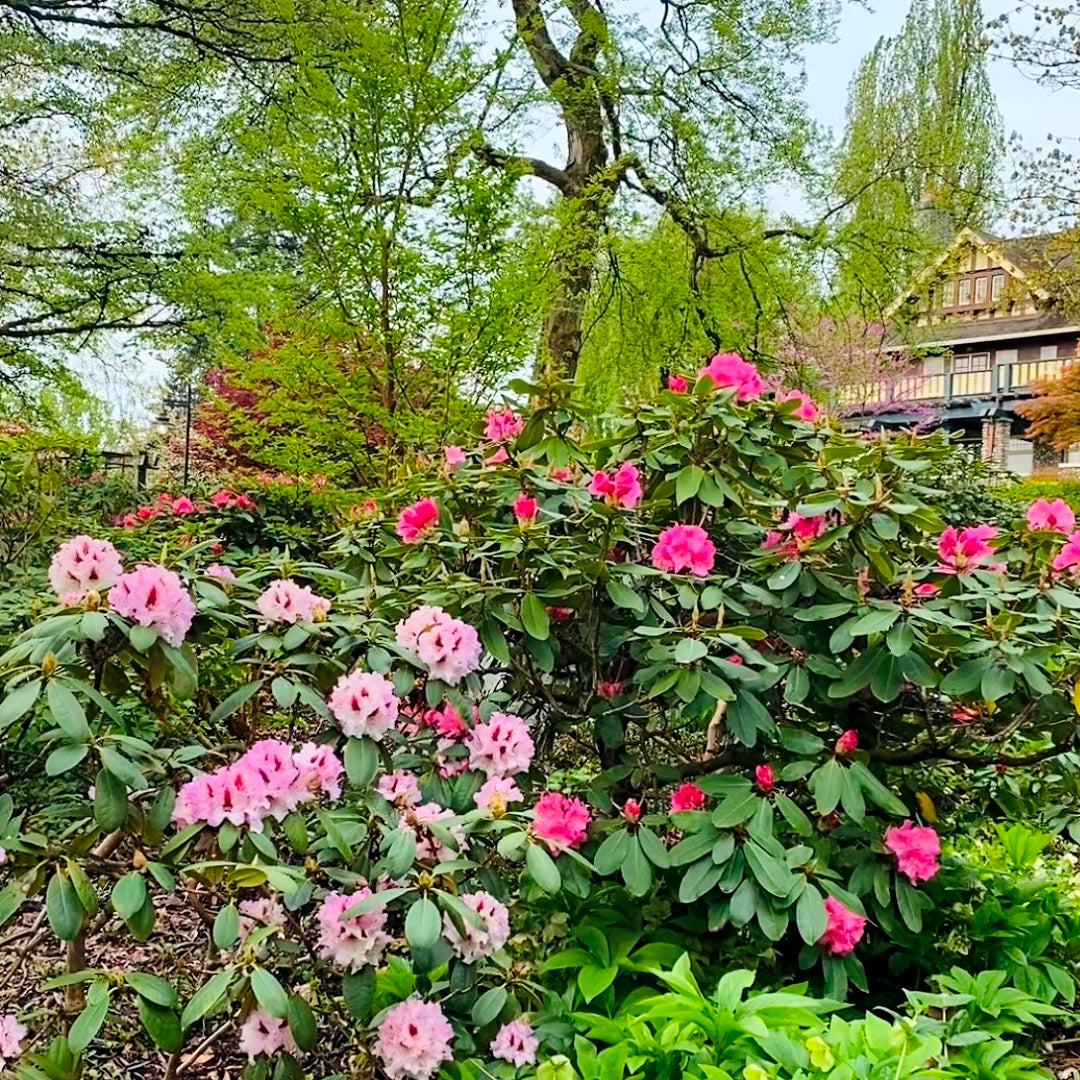 Rhododendrons at Burnaby Art Gallery