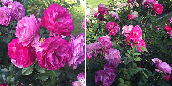 Diane Kennedy Blog Roses - Wild Blue Yonder Rose