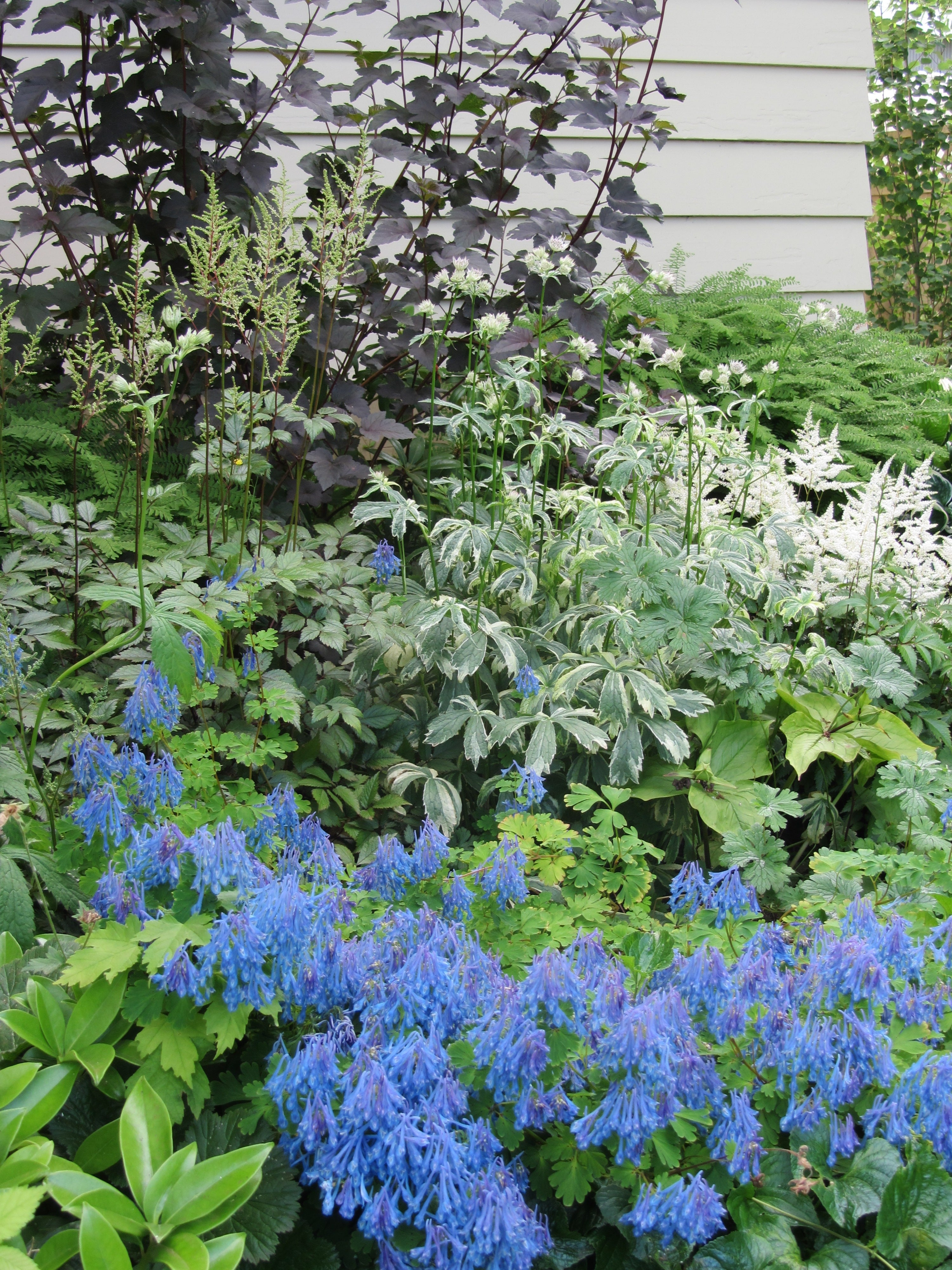 "Shade Garden with Corydalis ""Blue Panda'"
