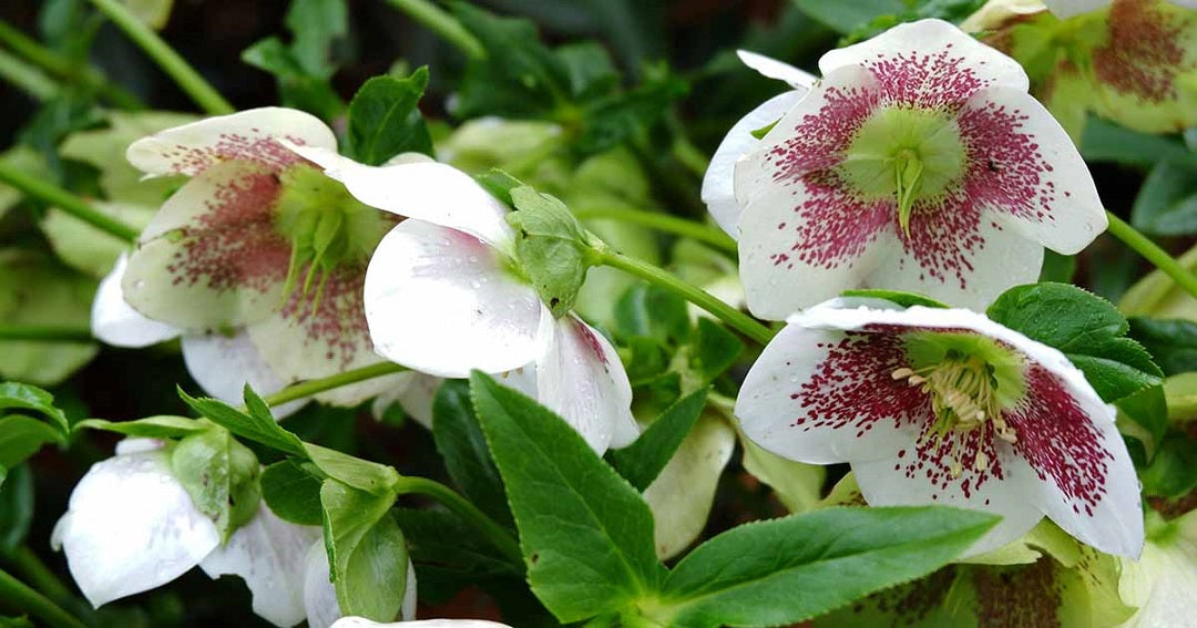 White Hellebore with red spots