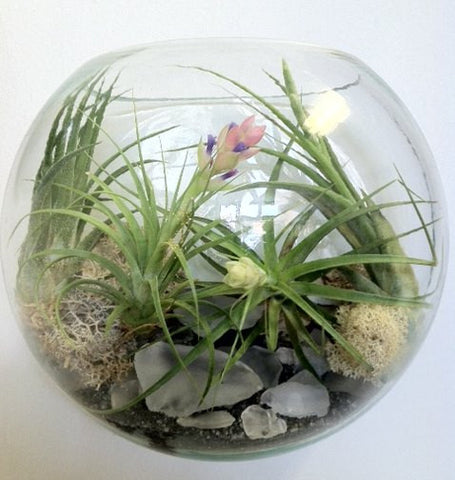 Air Plants Customized