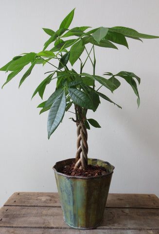 Money Tree in Patina Pot