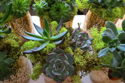 Succulents for Events
