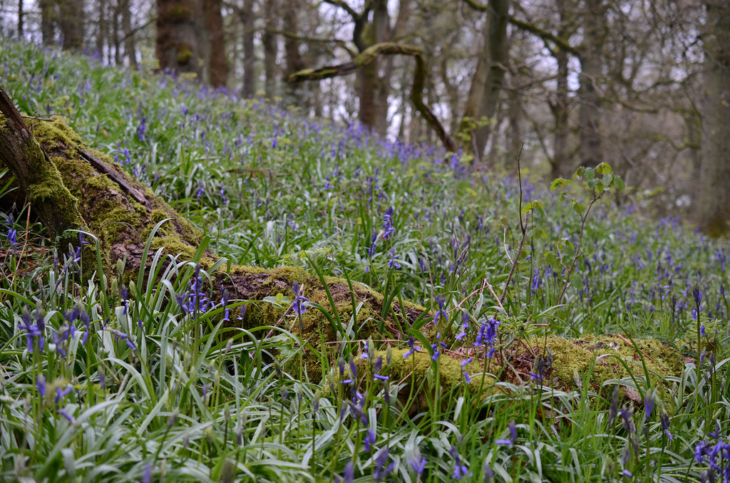 Bluebell photo walk